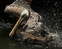 While the Brown Pelican is draining the water from its bill after a dive, gulls often try to steal the fish right out of its pouch. They sometimes even perch on the pelican's head or back and reach in.