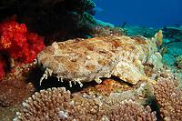 Ornate Wobbegong, Orectolobus ornatus, Flinders Reef, Moreton Bay Marine Park, Brisbane, Queensland, Australia, Pacific Ocean