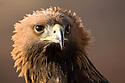 Portrait of a male Golden Eagle {Aquila chrysaetos}, Peak District National Park, UK. Captive bird.