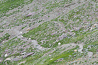 Mountain Goat s(Oreamnos americanus) walking along hiking trail.  Glacier National Park, Montana.  Summer.