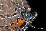 close up, wing scales, Banded hairstreak butterfly Satyrium calanus falacer