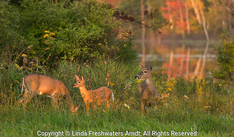 White-tailed deer feeding near a wilderness lake in northern Wisconsin.