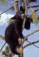 American Black Bear ( Ursus americanus) looking down from pine tree Northern USA