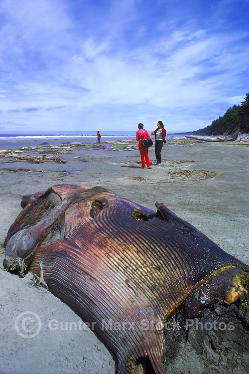 Haida Gwaii (Queen Charlotte Islands), Northern BC, British Columbia, Canada - Dead Beached Humpback Whale (Megaptera novaeangliae) washed up on North Beach along McIntyre Bay, Naikoon Provincial Park, Graham Island