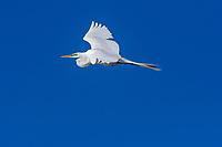 Great Egret (Ardea alba).  Western U.S. (Klamath Basin), May.