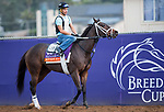 DEL MAR, CA - NOVEMBER 02: Kitten's Roar, owned by Kenneth L. and Sarah K. Ramsey and trained by Michael J. Maker, exercises in preparation for Breeders' Cup Filly & Mare Turf at Del Mar Thoroughbred Club on November 2, 2017 in Del Mar, California. (Photo by Kazushi Ishida/Eclipse Sportswire/Breeders Cup)