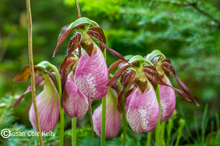 Pink Lady's Slipper (Cypripedium acaule) in Mariaville, Maine, USA