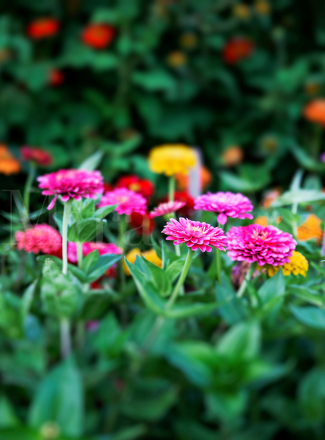 Zinnia flowers in bloom.