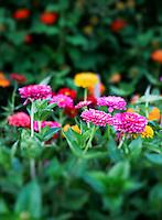 Zinnia flowers in bloom.