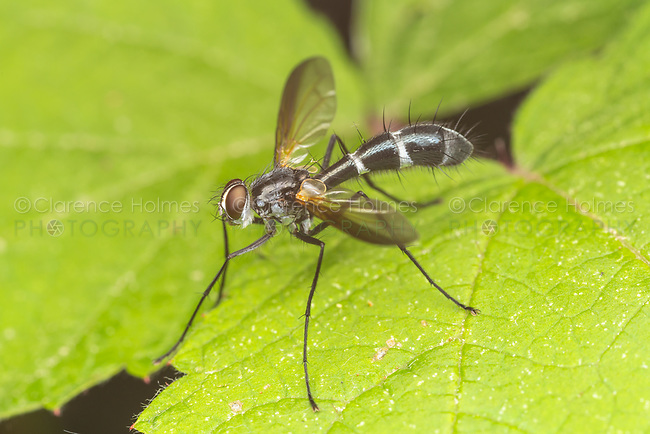 Parasitic Fly (Cordyligaster septentrionalis)