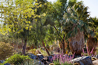 Acacia and palm trees in resilient drought tolerant garden at Palm Springs Art Museum in Palm Desert, California