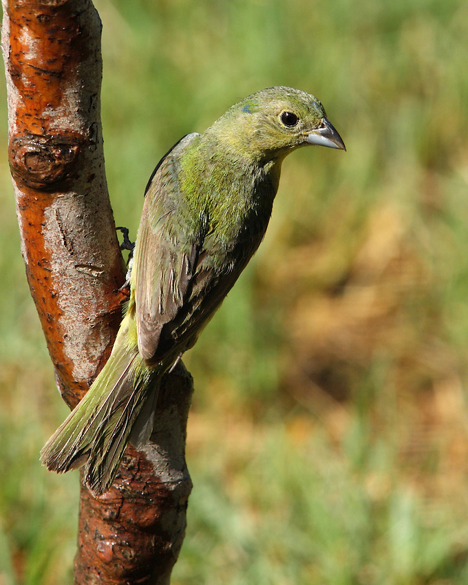 First-year male and female Painted Buntings are both similar to adult female.