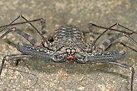 Geißelspinne, Geisselspinne, Damon variegatus, Whip spider, Whip spider, Whipscorpion, Tanzanian Giant Tailless Whipscorpion, whip scorpion, Geißelspinnen, Geisselspinnen