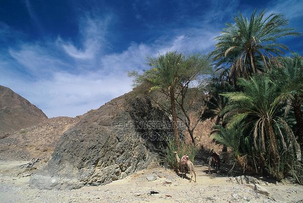 Palm Tree in desert oasis and camel, Nuweiba, Egypt, Oktober 1997