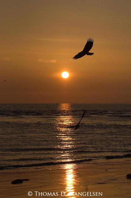 Silhouette of bald eagles flying over the ocean in Homer, Alaska.