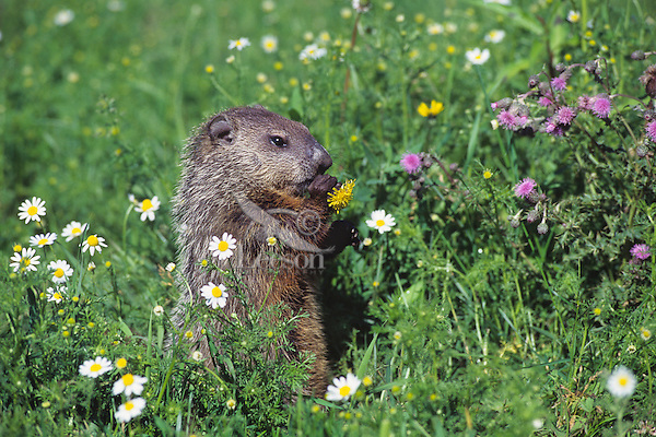 Woodchuck  or groundhog (Marmota monax) eating dandelion in upper midwestern meadow.  Summer