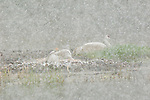 Sandhill Crane colt pokes its head out from between its parent's wings as the family endures a spring snowstorm in Yellowstone National Park, Wyoming.