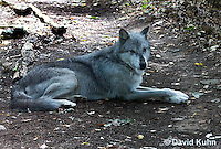 0823-1008  Gray Wolf (Grey Wolf), Canis lupus  © David Kuhn/Dwight Kuhn Photography