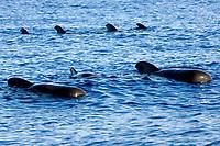 short fin pilot whales, Globicephala macrorhynchus, off Kona coast, Big Island, Hawaii, Pacific Ocean