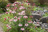 California native deciduous azalea shrub, Rhododendron occidentale early spring bud, San Francisco Botanical Garden, Menzies native plant garden