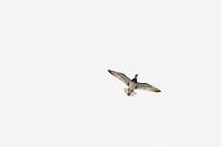Great Knot (Calidris tenuirostris) performing display flight over its mountain top territory. Chukotka, Russia. May.