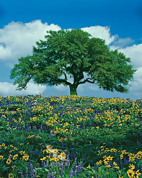 Live Oak Tree and wildflowers.  California.