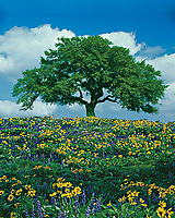 Live Oak Tree and wildflowers.  California.