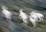 Dall sheep lambs and ewes race across open tundra toward a rocky cliff where their agility keeps them safe from both wolf and grizzly.