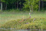 Sandhill crane family being attacked by a red-winged blackbird