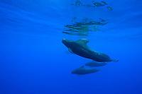 Short-finned Pilot Whales, Globicephala macrorhynchus, large bull with enormous dorsal fin, off Kohala Coast, Big Island, Hawaii, Pacific Ocean