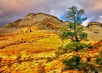 Sunrise and Ponderosa Pine trees. Zion National Park, Utah
