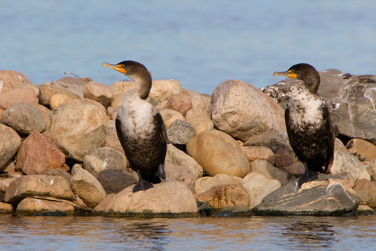 Cormorant couple sitting on a rocky island on a small lake