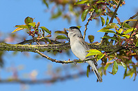 Mönchsgrasmücke, singendes Männchen, Mönchs-Grasmücke, Sylvia atricapilla, Blackcap, Fauvette à tête noire