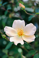 Rosa 'Mrs Oakley Fisher'