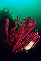 egg capsule of blotchy swell shark, draughtsboard shark, Cephaloscyllium umbratile, Izu ocean park, Sagami bay, Izu peninsula, Shizuoka, Japan, Pacific Ocean