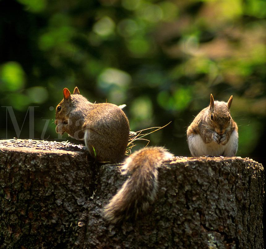 Squirrels on a tree stump