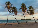 Vieques, Puerto Rico: Evening sun on a row of four palm trees at Sun Bay