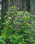 Del Norte Coast Redwood State Park, CA<br /> Redwood (Sequoia sempervirens) trunks behind flowering Rhododendron (R. macrophyllum)