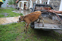 A cow jumps out the back of a van in the town of Heishui on the south-east edge of the Tibetan Plateau in Sichuan Province, western China.