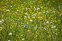 Orchard Meadow, Great Dixter, early June. Wildflowers include Common spotted orchid, (Dactylorhiza fuchsii), Ox-eye Daisy (Leucanthemum vulgare), Meadow buttercup (Ranunculus acris), Yellow rattle (Rhinanthus minor).