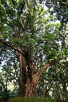 Huge tree along the Hanakapiai Trail, Northshore, Kauai, Hawaii