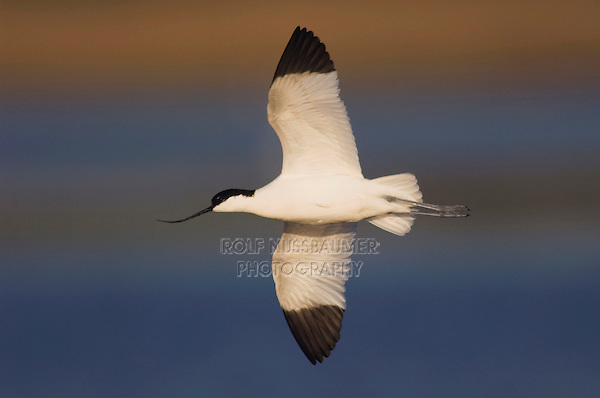 Pied Avocet, Recurvirostra avosetta, adult in flight, National Park Lake Neusiedl, Burgenland, Austria, Europe