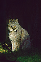 Lynx or Canadian Lynx (Lynx canadensis).  Summer.