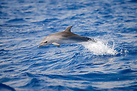Stenella frontalis, Spotted Dolphin, Leaping juvenille, Azores-Portugal