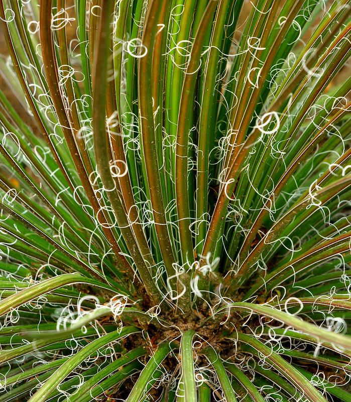 Agave plant (Agave geminflora) Moorten Botanical Garden. Palm Springs, California