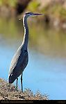 Great Blue Heron, Bosque del Apache Wildlife Refuge, New Mexico