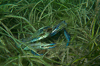 Blue swimmer Crab, Portunus pelagicus, a male Blue swimmer crab on sea grass bed. Large numbers of these crabs come into the shallows in summer to breed and molt, Edithburgh, South Australia, Australia, Southern ocean