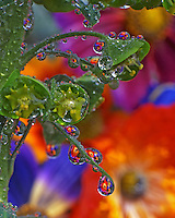USA, Oregon, Garden flowers reflect in dewdrops clinging to euphorbia plant.