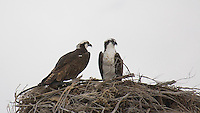TWO OSPREYS OCCUPY THEIR NEST IN BAJA CALIFORNIA, MEXICO