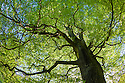 Looking up through a Beech wood canopy {Fagus sylvatica} in summer, Peak District National Park, Cheshire, UK. August.